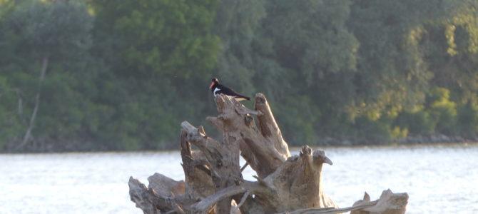 in un'isola del Po tra Felonica e Sermide hanno nidificato le beccacce di mare